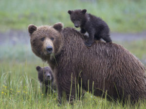 Brown Bear Family with Cub on Mothers Back